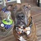 Happy Halloween Bow Tie for Dogs - Size M, L - Halloween Bow