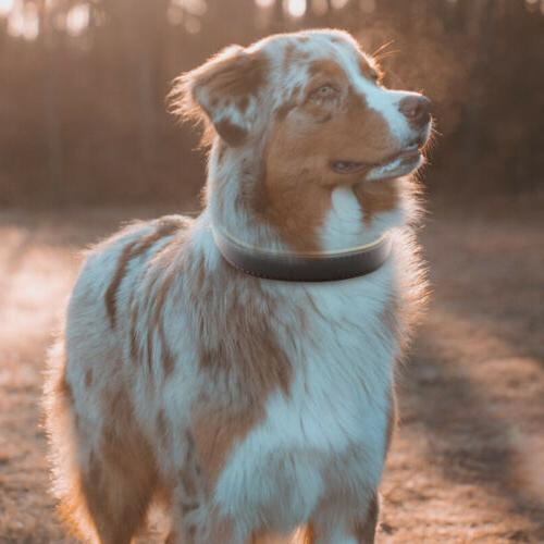 Padded Genuine Dog Collar, Collars for Large Dogs