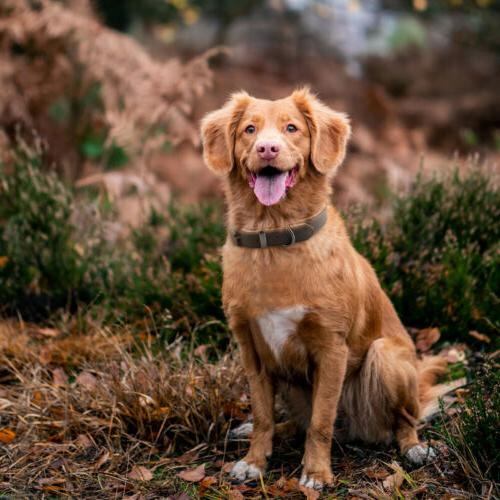 Padded Collar, Collars for Dogs